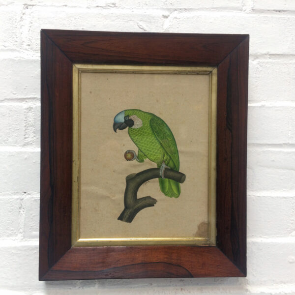 Finely painted Green Parrot. Circa 1830. Period Rosewood frame.
